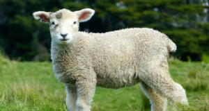 lambing in Kent and East Sussex